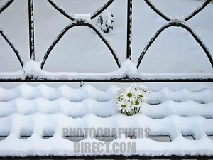 White daisies in the snow