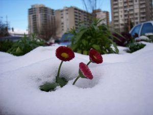 snow_daisies