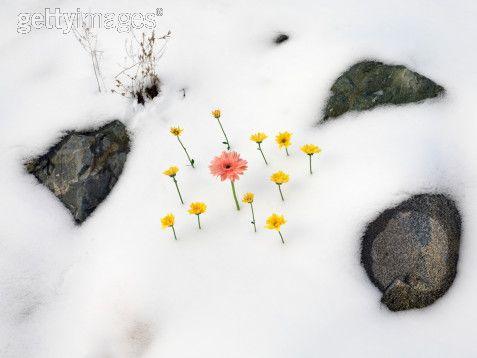 snow_daisies3