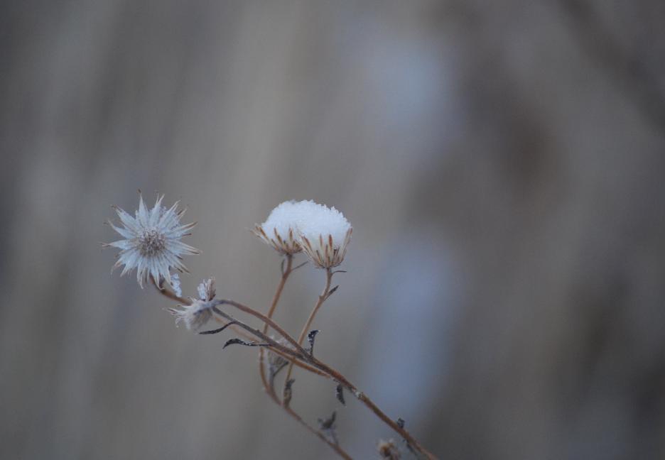 snow_daisies36
