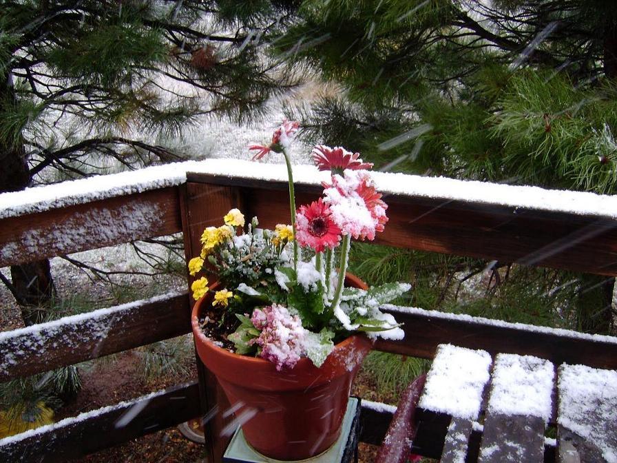 snow_daisies5