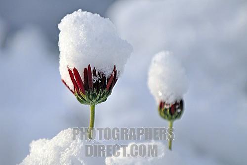 snow_daisies78