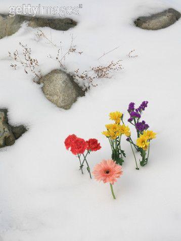 snow_daisies9