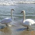 Терапия за лебеди