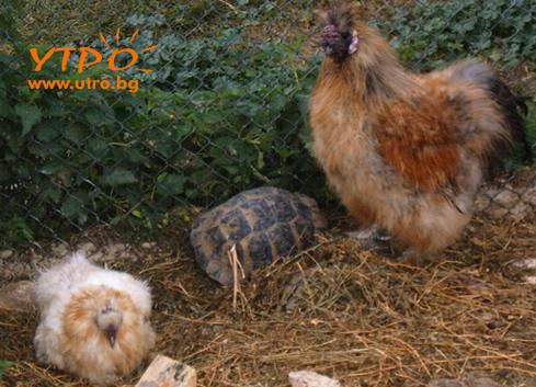 петел и кокошка