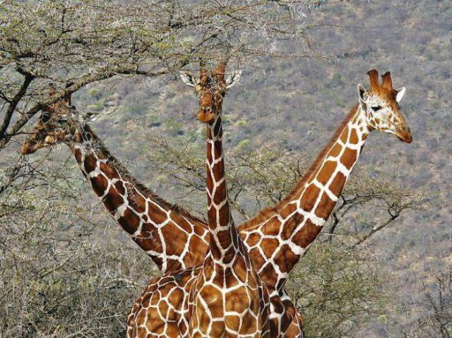 жираф с три глави