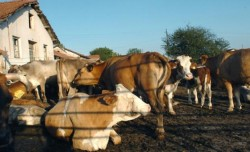 Крава с екстри