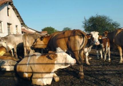 Крава, крави