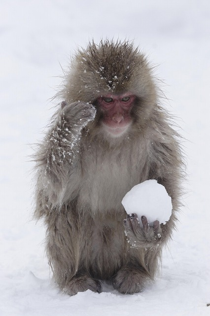 snow-monkey-snowball