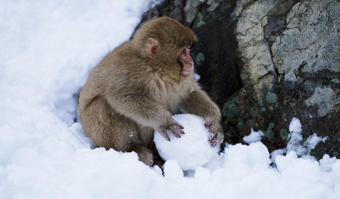 snow-monkey1_682_1426531a