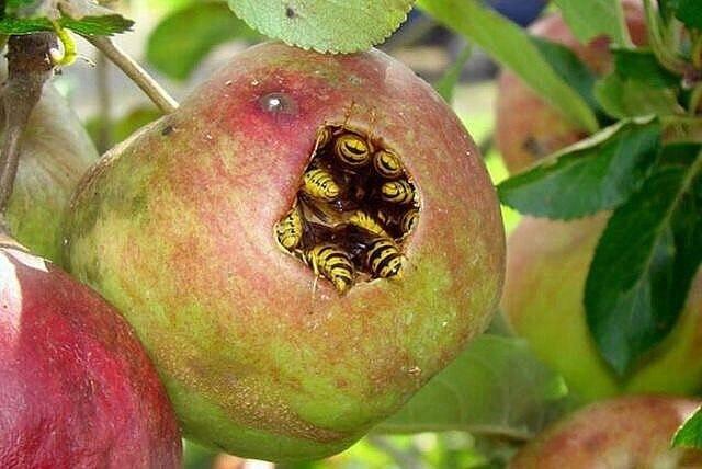 оси в ябълка