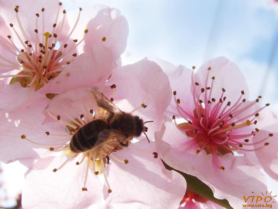 пролетна пчела