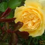 Празник на розата 2011