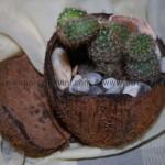 Миниградинка от кокосов орех