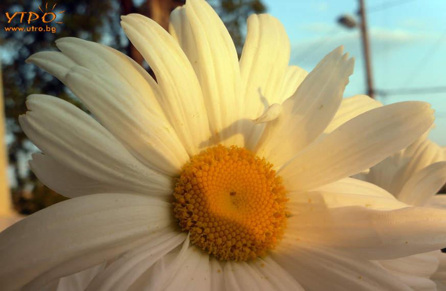 слънчева маргаритка