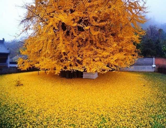 1400 годишно дърво гинко листопад