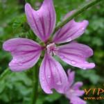 цвете - Дъждовна нежност