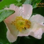дъждовна роза