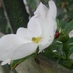 калинка върху роза